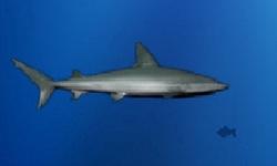 Lost Shark
