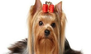 Original game title: Yorkshire Terrier Jigsaw